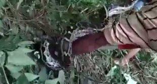নদীতে ভেসে এল ১২ ফুটের পাইথন